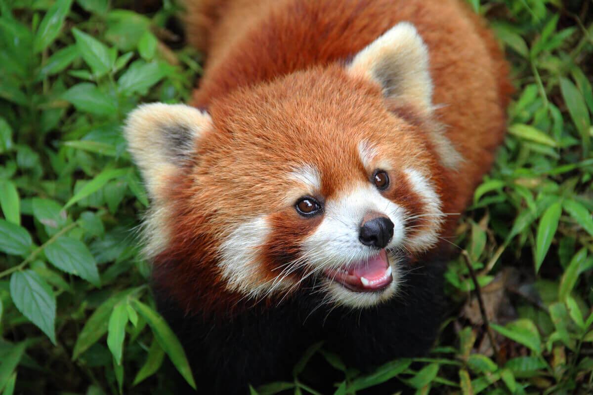En rødpanda som smiler
