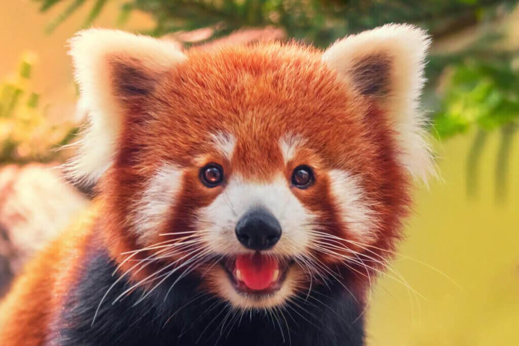 Atferden til rødpandaen - En dyktig klatrer