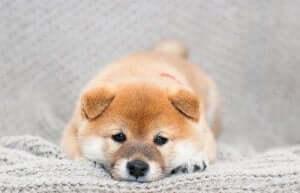 Bilde av en shiba, kjent som en kattehund