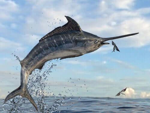 En sverdfisk som hopper ut av vannet for å prøve å fange en flygefisk