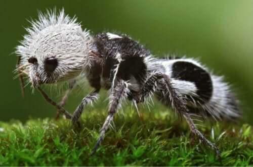 Euspinolia militaris: Krigermauren som egentlig er en veps