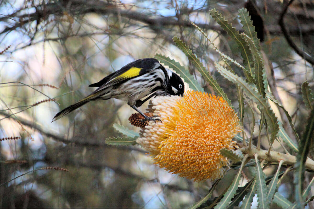 En stor Hvitøyehonningeter er en av nektarsugende fugler