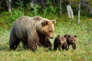 Hvordan tar bjørner vare på ungene sine?