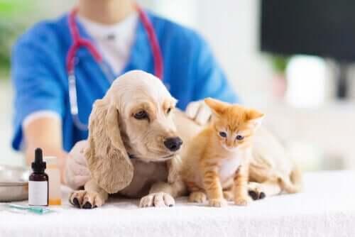En cocker spaniel og en kattunge hos veterinæren