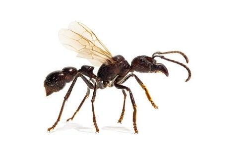 Hvor farlig er paraponera-maur?