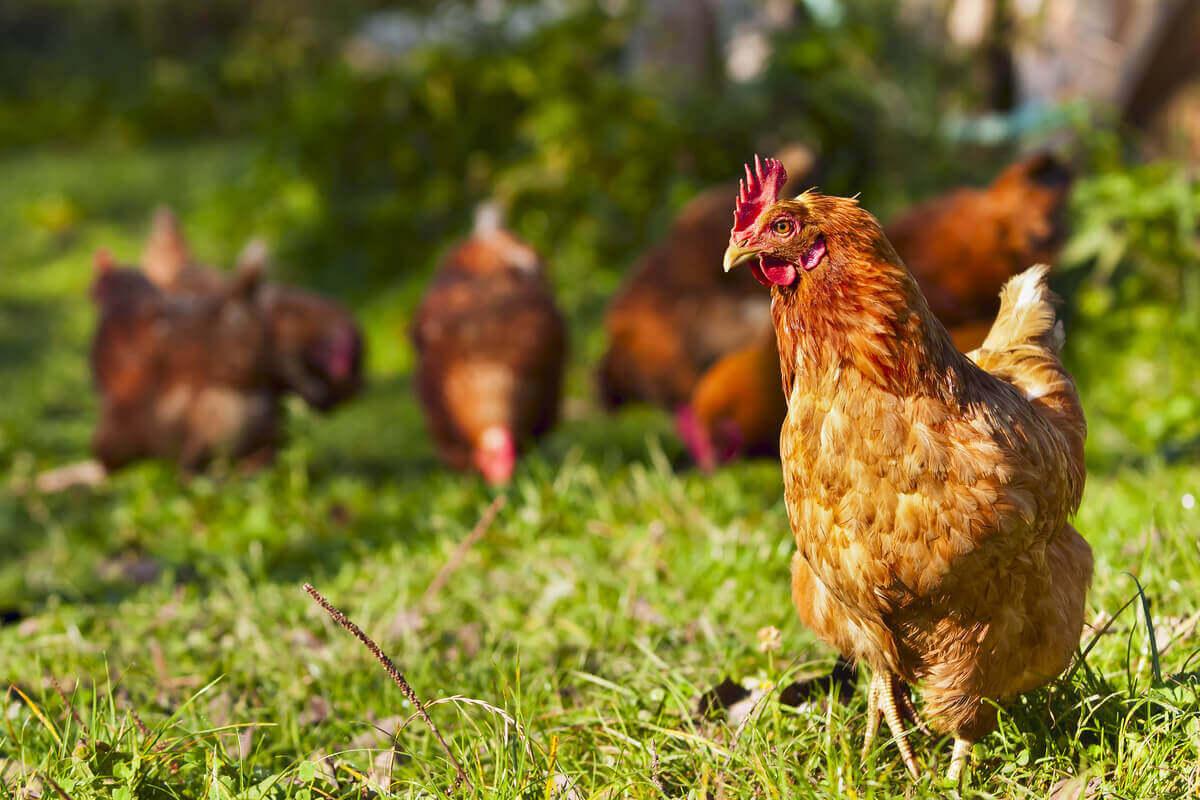 Kyllinger på marken