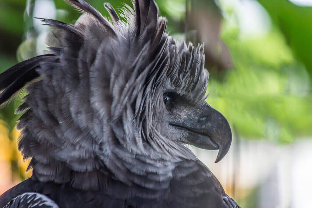 Den store harpyørnen fra Sør-Amerika