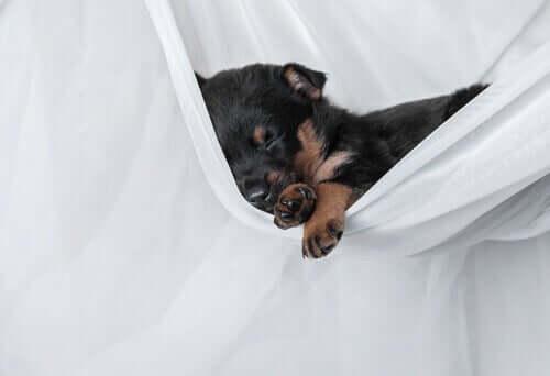 En valp som sover i en hengekøye