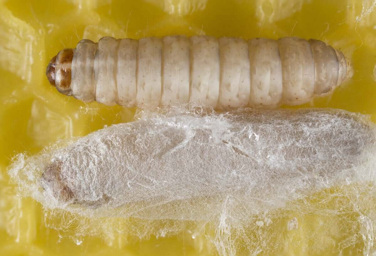 Larve av en orm som spiser plast