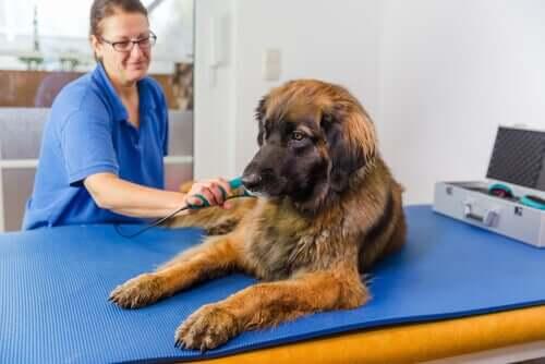 En veterinær som utfører laseroperasjoner på en hund