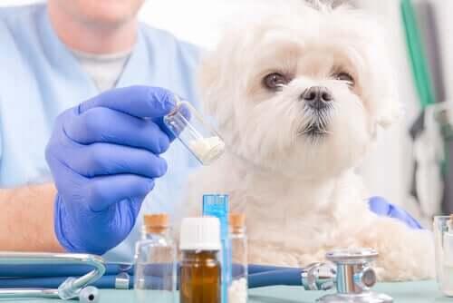 En veterinær som forbereder medisin til en liten hund