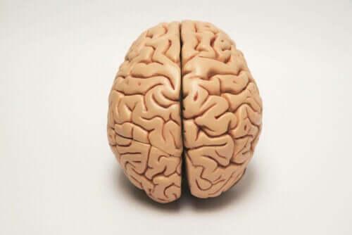Hjernens halvdeler er ansvarlig for lateraliseringen