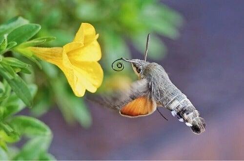 Rollen til en dagsvermer i pollinering