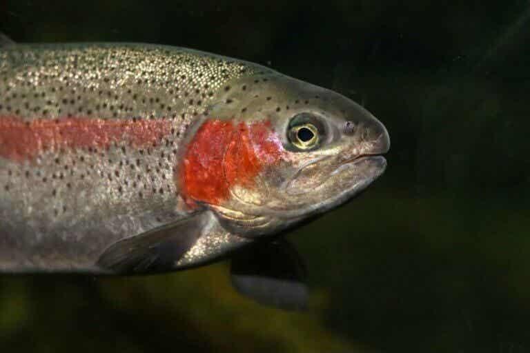 Regnbueørret, en flerfarget laksefisk