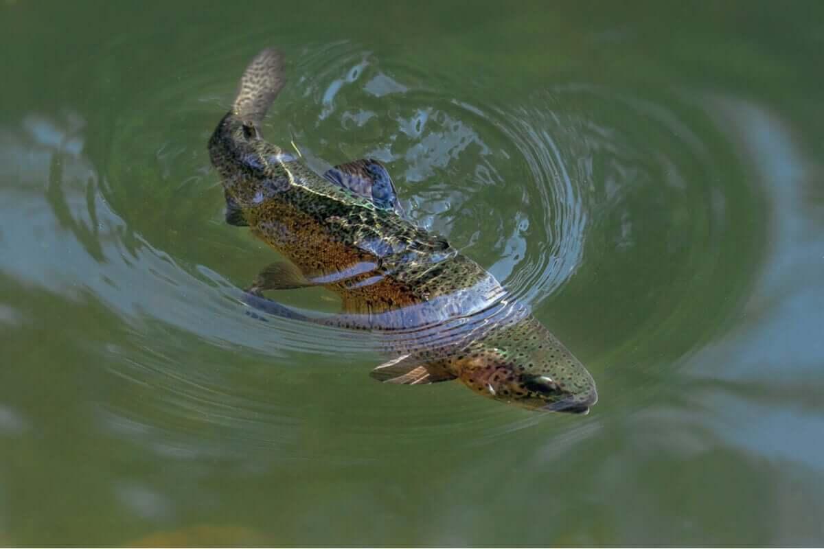 En regnbueørret som svømmer under vann