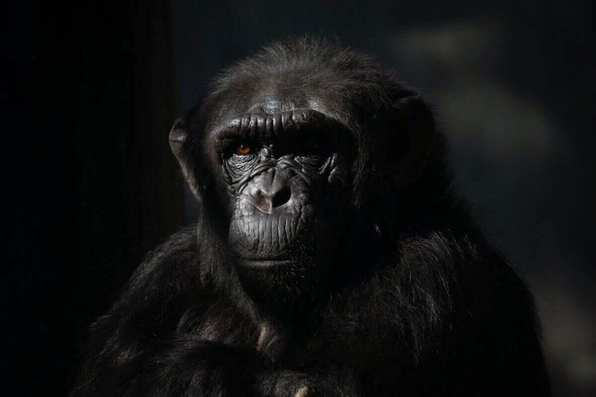 Ansiktet til en sjimpanse med svart bakgrunn.
