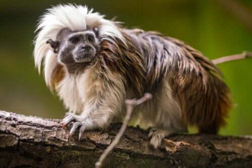 En ape på en gren