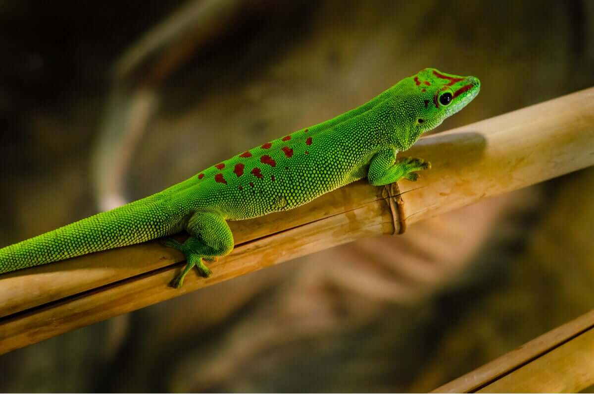 En grønn daggekko med røde flekker på ryggen og hodet
