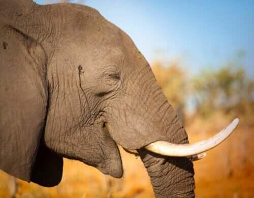 Beskyttelse av elefanter mot krypskyttere
