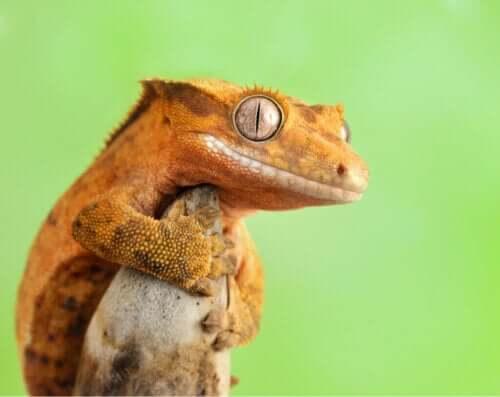 Å ha en kranset gekko som kjæledyr