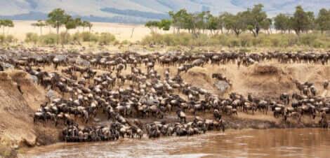 Gnuer som krysser elven Mara som en del av deres trekkrute