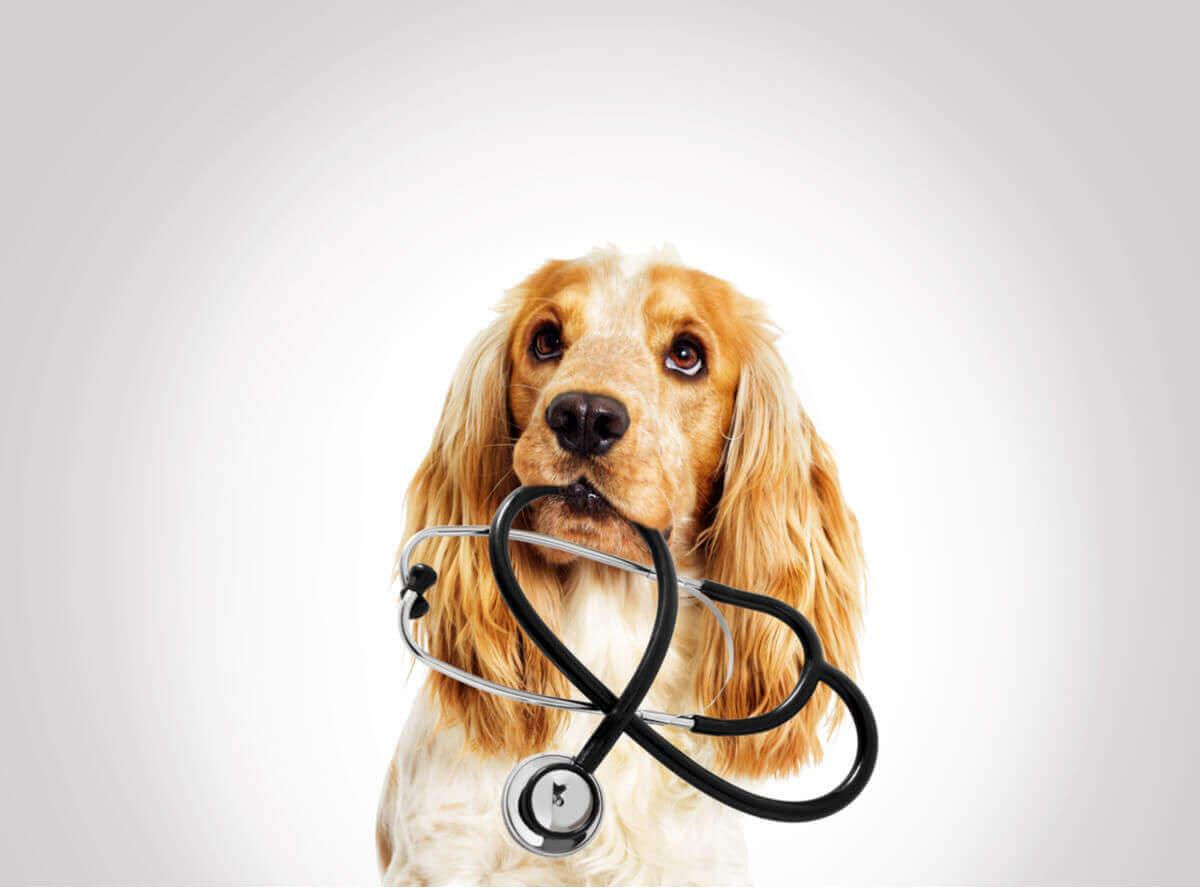 En hund med stetoskop i munnen