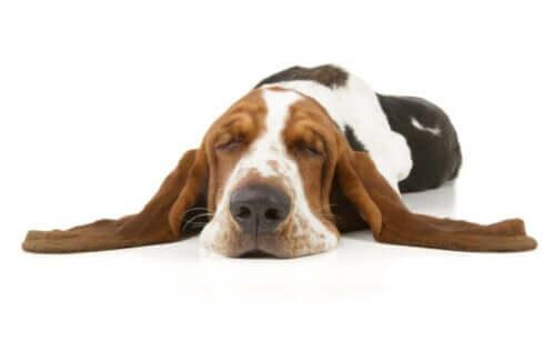 Narkolepsi hos hunder - definisjon og karakteristikker