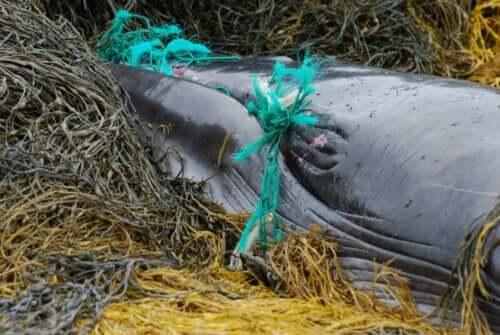 En hval viklet inn i et garn.