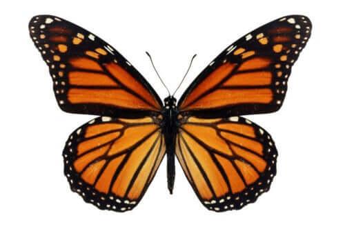 En festet sommerfugl