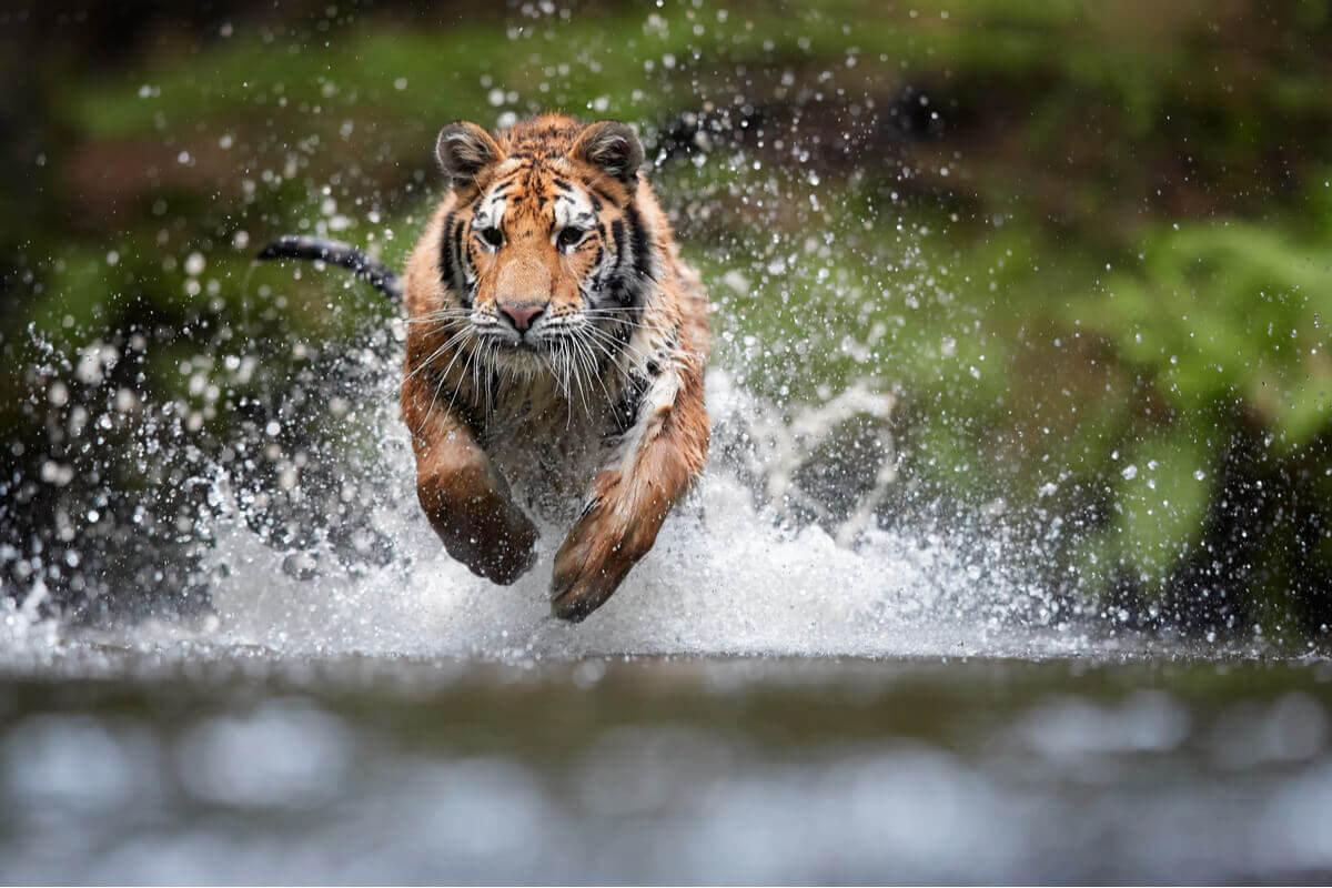 En tiger som hopper