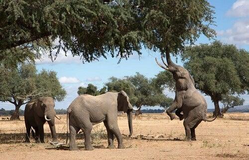 Tre elefanter spiser