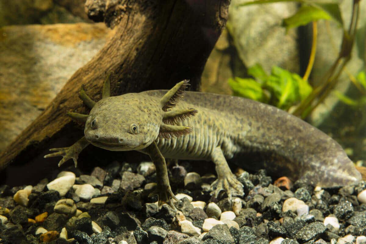 En stor axolotl i akvarium