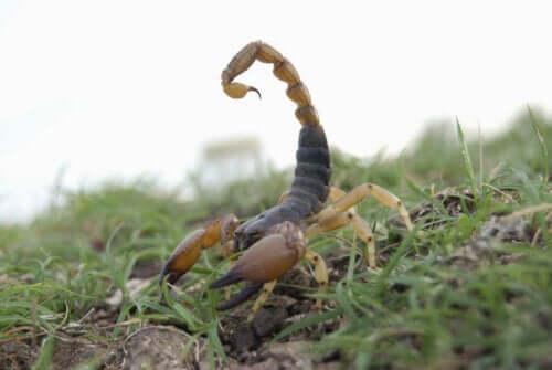 Hottentotta tamulus i sitt naturlige habitat - typer skorpioner