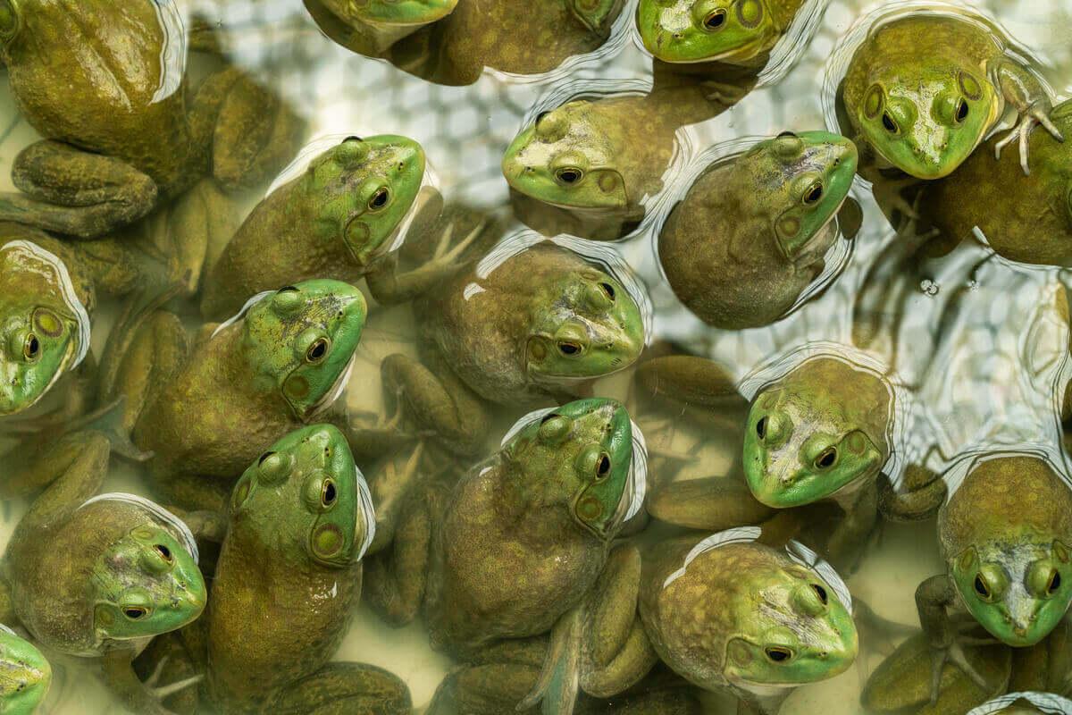 Mange oksefrosker i en dam