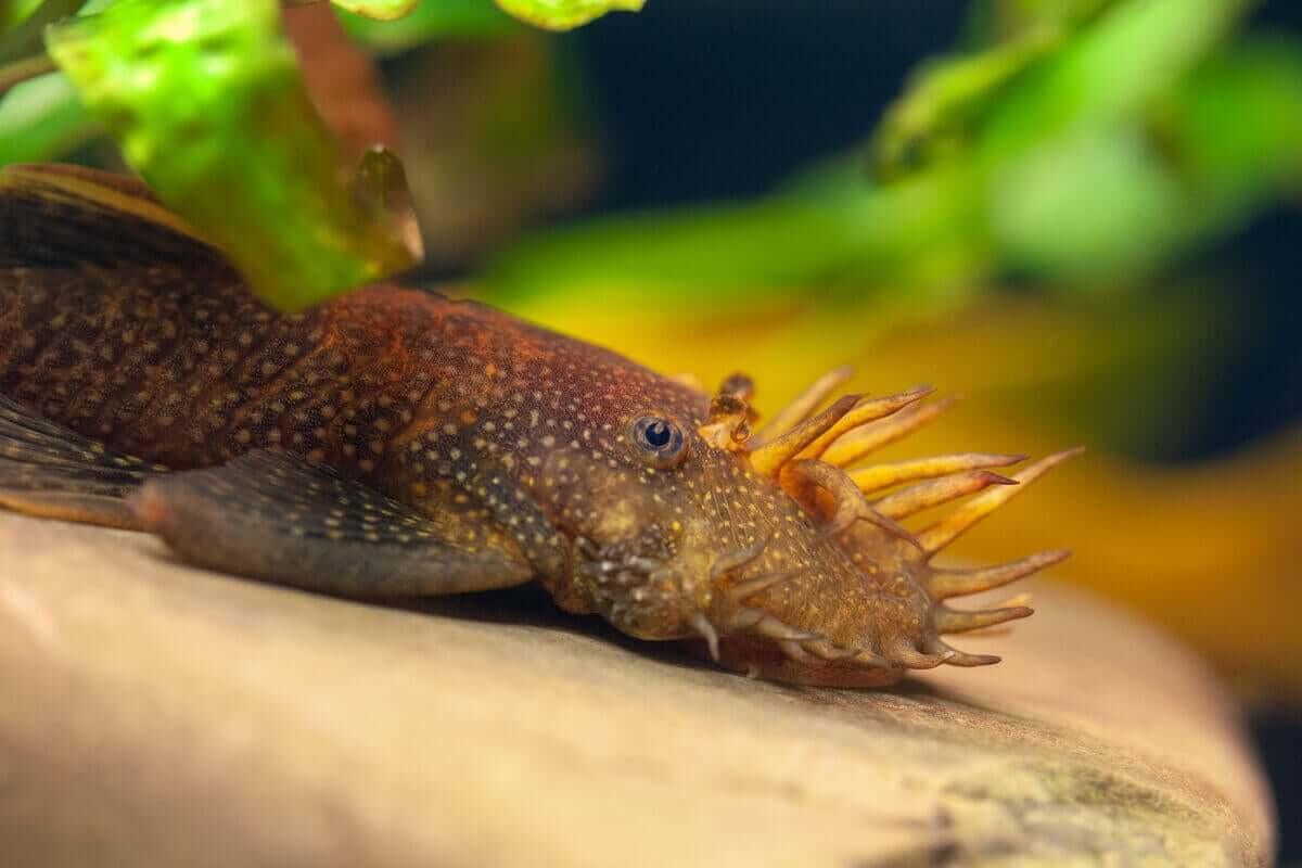 Ancistrus er en annen naturlig akvariumrenserfisk