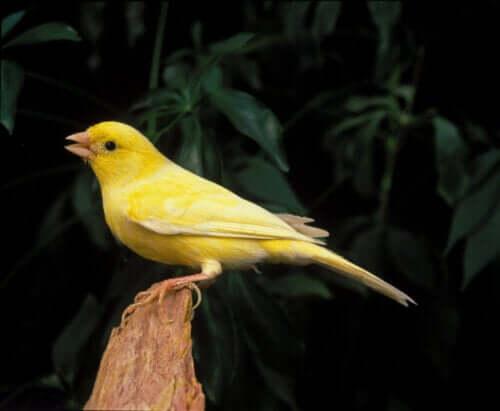 Kanarifuglens sang og årsaken bak den