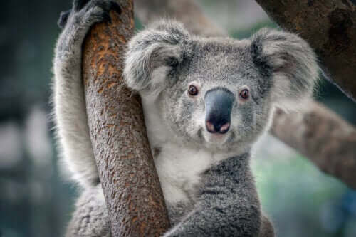 En koala i et tre