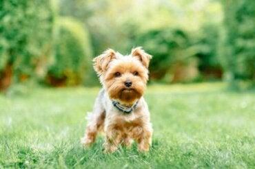 Fire vanlige helseproblemer hos små hunderaser