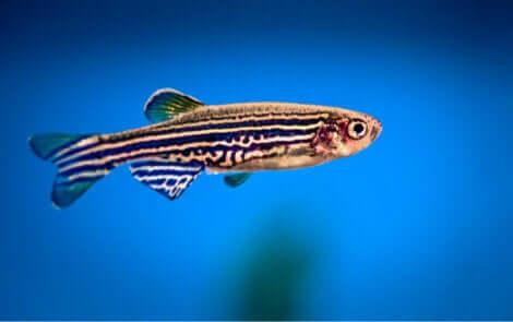 En sebrafisk som svømmer