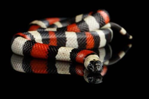 En svart, hvit og rød ikke-giftig slange