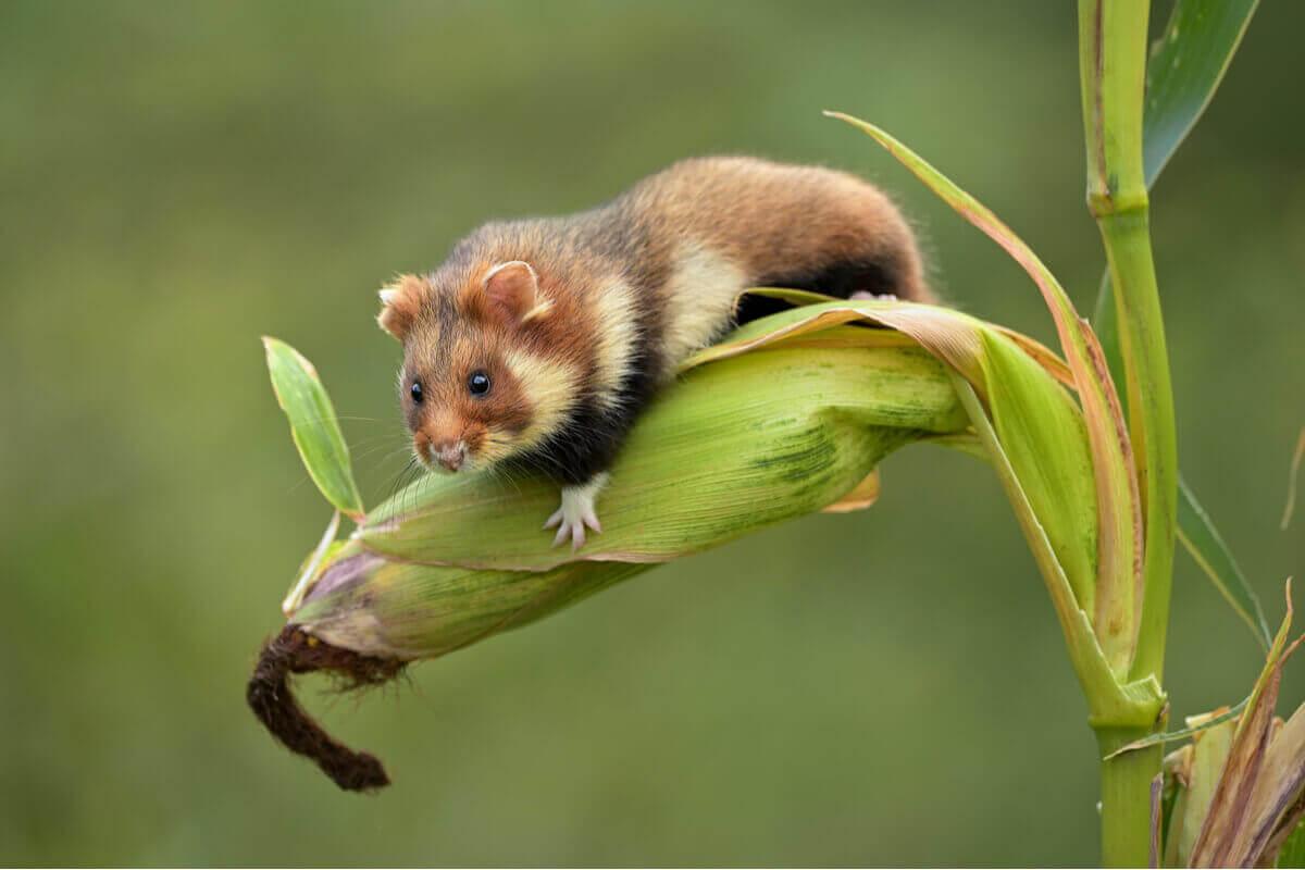 Den europeiske hamsteren i fare for utryddelse