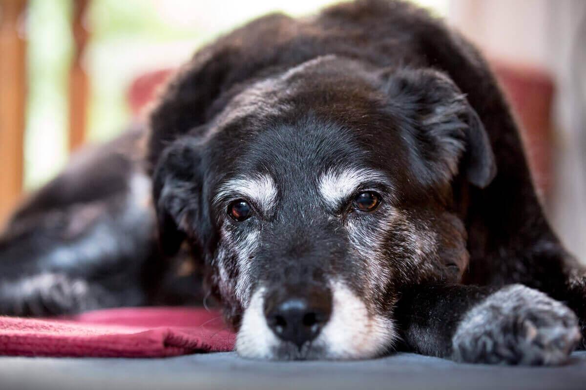 En gammel hund som ligger på gulvet