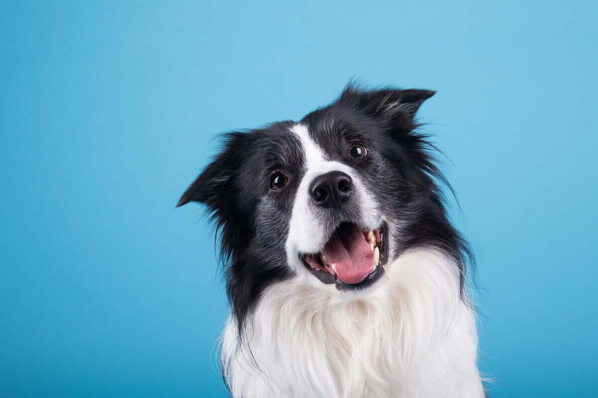 En lykkelig hund på blå bakgrunn
