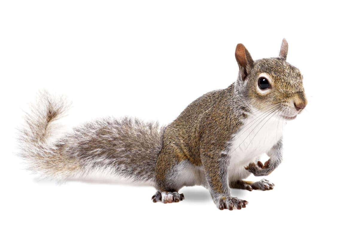 Et ekorn på en hvit bakgrunn