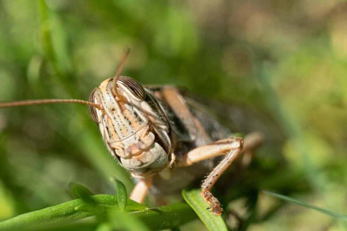 Et nærbilde av en brun gresshoppe som ligger på en liten grønn plante