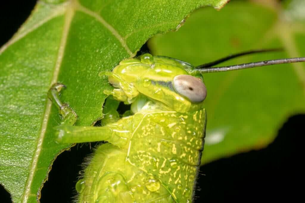 Hva spiser gresshopper?