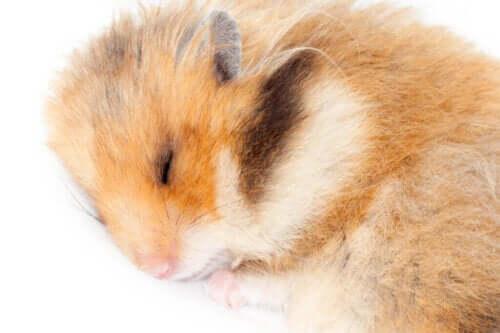 Kan hamstere gå i dvale?