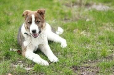 Hva er årsakene til ataksi hos hunder?