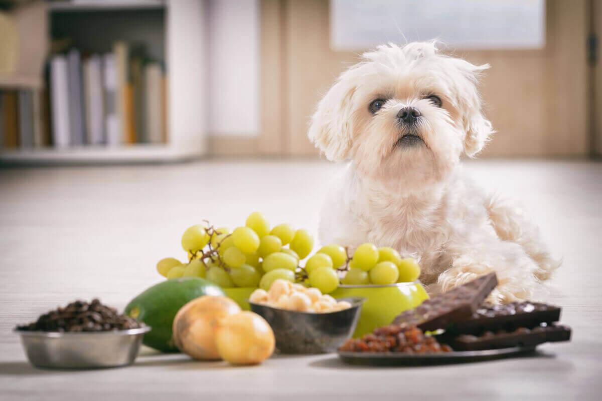 En liten hvit hund som ligger foran giftig mat, inkludert løk og sjokolade