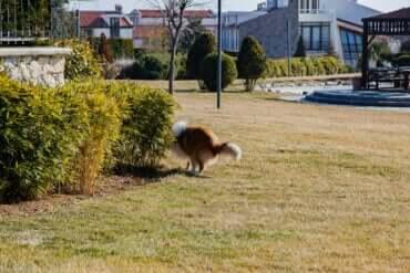 En hund som forbereder seg på å bæsje i en hage